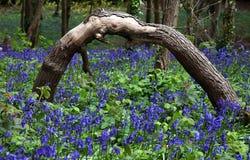 bluebell drewna Obraz Royalty Free