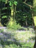 Bluebell drewna Zdjęcia Stock