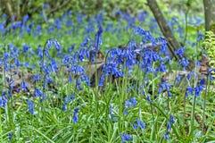 Bluebell drewna Zdjęcie Royalty Free
