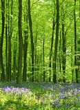 Bluebell drewna Obrazy Stock