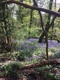Bluebell drewno zdjęcie stock