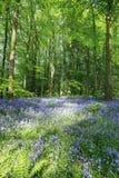 Bluebell drewno przy Portglenone, Północnym - Ireland zdjęcie royalty free