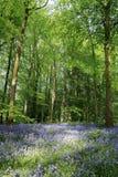 Bluebell drewno przy Portglenone, Północnym - Ireland zdjęcia stock