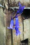 Bluebell e arame farpado fotografia de stock royalty free