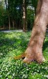 Bluebell e fiori di legno con la vista di alberi Immagine Stock