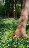 Bluebell e flores de madeira com opinião de árvores Imagem de Stock