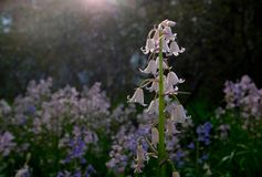 Bluebell royalty free stock photography