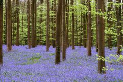 Bluebell Festival Royalty Free Stock Photo