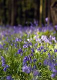 Bluebell field. Field of flowering Common Bluebells in countryside Stock Photo