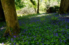 Bluebell field in killarney. National park ireland Royalty Free Stock Image