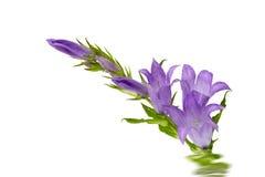 Bluebell flower Stock Photos