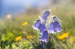 Bluebell flower on alpine meadow at sunset Stock Photo