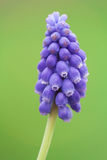 Bluebell flower close up Royalty Free Stock Image