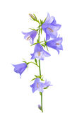 Bluebell flower is isolated on a white background Stock Photography
