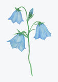 Bluebell flower watercolor painting Royalty Free Stock Photography