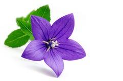 Bluebell flowers Stock Image