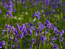 Bluebell flowers background, selective dof Stock Image