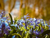 Bluebell, Flowers, Blue Stock Image