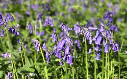 Bluebell flowers Stock Photography