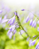 Bluebell flowers or Campanula rapunculoides Royalty Free Stock Photos