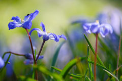 Bluebell flowers. Cluster of little violet blue flowers with a bug in a meadow in spring Stock Photo