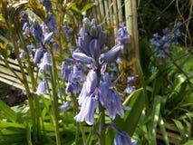 Bluebell flowers garden plants blue stock image