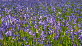 Bluebell flowers in green medow Stock Image