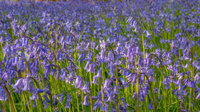Bluebell flowers in green medow Royalty Free Stock Image