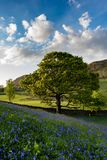 Bluebells beneath blue skies. Bluebell flowers and an Oak tree near Edmondstown in the Rhondda valley, Wales Royalty Free Stock Photography