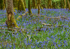 Bluebell Flowers Stock Photo