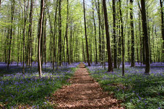 Bluebell forest Stock Photography