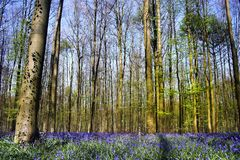 Bluebell forest stock image
