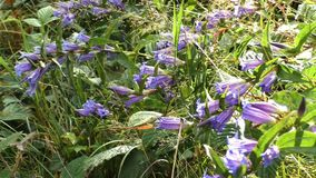 Bluebell in the forest. Bell-flower in sunny day. Summer environment diversity. Hyacinthoides non-scripta in woodland under autumn stock video footage