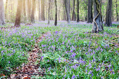 Bluebell forest at dawn Stock Images