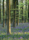 Bluebell forest (Hyacinthoides non-scripta) Stock Image