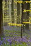 Bluebell Forest Stock Images