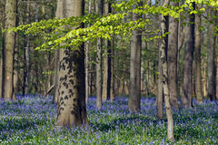 Bluebell Forest Stock Photo