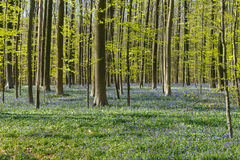 Bluebell Forest Royalty Free Stock Photos
