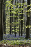 Bluebell Forest Royalty Free Stock Images