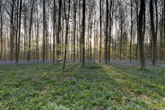 Bluebell Forest Royalty Free Stock Image