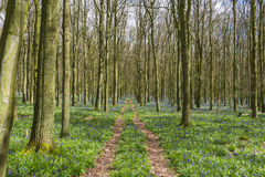 Bluebell forest in the spring Royalty Free Stock Images