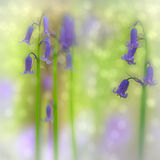 Bluebell forest wildflower Royalty Free Stock Photos