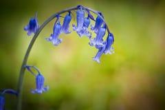 Bluebell-Frühlingsblume gegen grünen Hintergrund Stockfoto