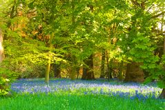 Bluebell glade Royalty Free Stock Images
