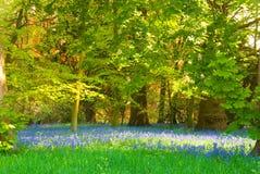 bluebell halizna Obrazy Royalty Free