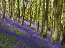 Bluebell Haze stock image