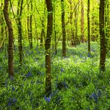 Bluebell Heaven in Blakes Wood stock images