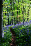 Bluebell-Holz Stockbilder