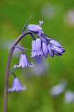 Bluebell Hyacinthoides hispanica Royalty Free Stock Image