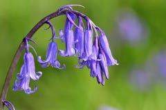 Bluebell hyacinthoides scripta ?? стоковая фотография rf